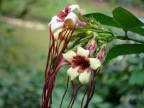 Strophanthus preussii 'Corkscrew Flower'