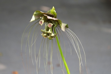 Tacca chantrieri 'Cat's Whiskers'