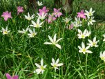 Zephyranthes candida 'Fairy Lily'