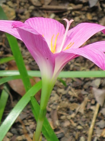 Zephyranthes rosea 'Rain Lily'