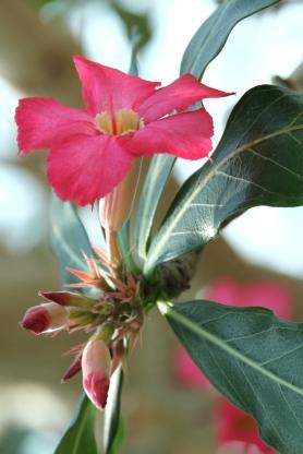 Adenium obesum 'Desert Rose' (1)