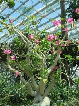 Adenium obesum 'Desert Rose' (2)