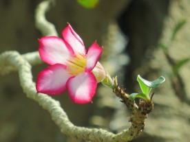 Adenium obesum 'Desert Rose' (3)