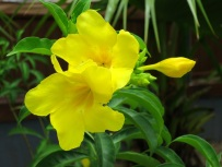 Allamanda cathartica 'Golden Trumpet'