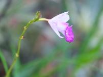 Arundina graminifolia 'Bamboo Orchid'
