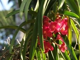 Ascocentrum curvifolium