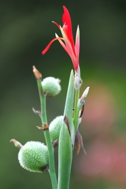Canna indica 'Canna Lily'