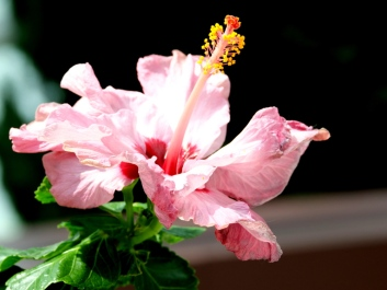 Hibiscus rosa-sinensis 'Dorothy Brady' (Pink)