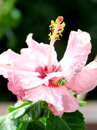 Hibiscus rosa-sinensis 'Dorothy Brady' (Pink)