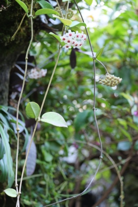 Hoya carnosa 'Wax Flower'