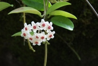 Hoya carnosa 'Wax Flower'
