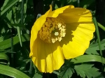 Meconopsis cambrica 'Welsh Poppy'