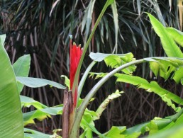 Musa coccinea 'Red Banana'