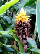 Musella lasiocarpa 'Lotus Banana'