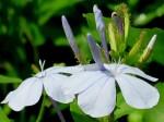 Plumbago auriculata 'Cape Leadwort'