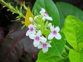 Pseuderanthemum carruthersii 'Reticulatum'