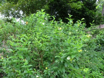 Pseudomussaenda flava 'Dwarf Yellow Mussaenda' or 'White Wing'