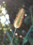Setaria viridis 'Yellow Bristlegrass'