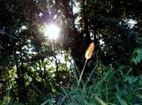 Setaria viridis 'Yellow Bristlegrass'