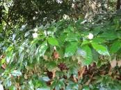 Tabernaemontana corymbosa 'Flore Pleno'