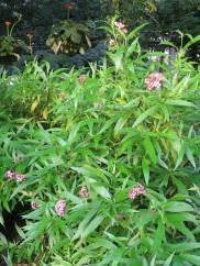 Arachnothryx leucophylia 'Panama Rose'