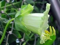 Cobaea scandens alba 'Cathedral Bells'
