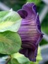 Cobea scandens 'Mexican Ivy'