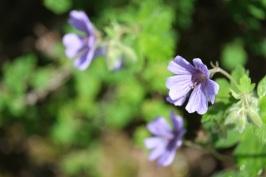 Geranium renardii 'Philippe Vapelle'