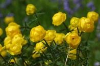 Globeflower 'Trollius Europaeus'