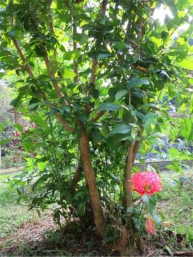 Hibiscus schizopetalus 'Japanese Lantern'