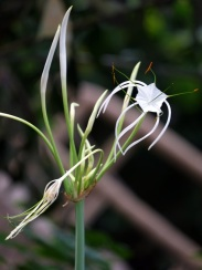Hymenocallis speciosa 'Green-tinge Spiderlily'