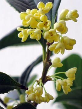 Osmanthus fragrans 'Sweet Osmanthus'