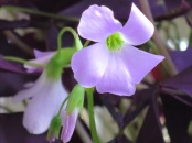Oxalis regnellii 'Francis' (or 'Purple Shamrock')