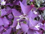 Oxalis regnellii 'Francis' (or 'Purple Shamrock')