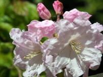 Rhododendron 'Kimberly'