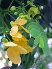 Senna surattensis 'Sunshine Tree'