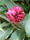 Alpinia purpurata 'Double Red'