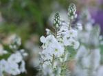 Eremurus himalaicus 'Foxtail Lily'