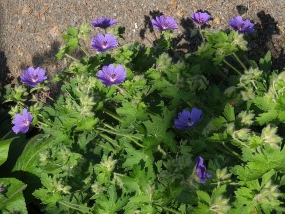 Geranium × magnificum 'Purple Cranesbill'