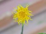 Gynura divaricata (L.) DC.