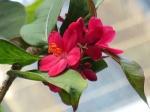 Jatropha pandurifolia 'Violin-leaved nut'