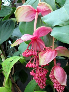 Medinilla magnifica 'Rose Grape'