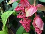 Medinilla magnifica 'Rose Grape'