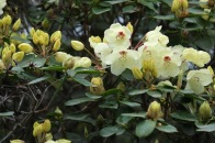Rhododendron 'Wardii'