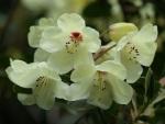 Rhododendron 'Wardii'
