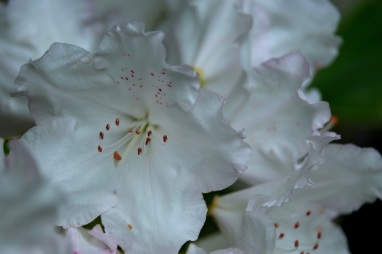 Rhododendron 'Winter Morn'
