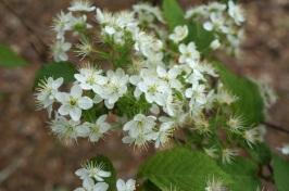 Spiraea cantoniensis cv. 'Mizuho'