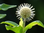 Adina pilulifera 'Chinese Buttonbush'