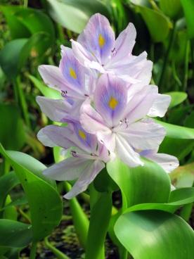 Eichhornia crassipes 'Water Hyacinth'