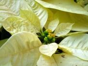 Euphorbia pulcherrima 'Poinsettia'